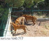Купить «Тигры в вольере. Геленджик, сафари-парк.», фото № 640717, снято 11 сентября 2008 г. (c) Ирина Андреева / Фотобанк Лори