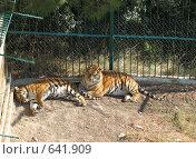 Купить «Два разморенных тигра в вольере Геленджикского сафари-парка», фото № 641909, снято 11 сентября 2008 г. (c) Ирина Андреева / Фотобанк Лори