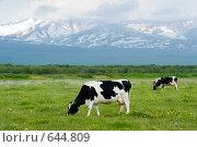 Купить «Стадо коров пасется на лугу у подножия вулкана», фото № 644809, снято 24 июня 2008 г. (c) Ирина Игумнова / Фотобанк Лори