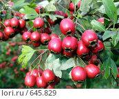 Плоды боярышника. Стоковое фото, фотограф Александр Лихачев / Фотобанк Лори