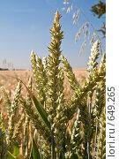 Купить «Колосья пшеницы крупно», фото № 649265, снято 1 июля 2008 г. (c) Архипова Мария / Фотобанк Лори