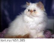 Купить «На выставке кошек», фото № 651385, снято 20 декабря 2008 г. (c) Виктор Филиппович Погонцев / Фотобанк Лори