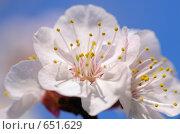 Купить «Цветы дерева весной», фото № 651629, снято 22 февраля 2019 г. (c) Stockphoto / Фотобанк Лори