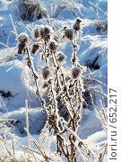 Колючки под снегом. Стоковое фото, фотограф Стрельцова Екатерина / Фотобанк Лори