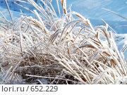 Трава под снегом. Стоковое фото, фотограф Стрельцова Екатерина / Фотобанк Лори