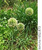 Купить «Цветущий лук», фото № 652873, снято 26 июля 2008 г. (c) Маргарита Лир / Фотобанк Лори