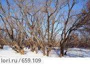 Купить «Ивовая роща зимой», фото № 659109, снято 13 января 2009 г. (c) Александр Шилин / Фотобанк Лори