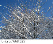 Заснеженные ветки на фоне ярко-синего неба. Стоковое фото, фотограф Александр Новиков / Фотобанк Лори