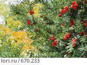 Купить «Тис ягодный - осень», фото № 670233, снято 16 июня 2019 г. (c) Вадим Кондратенков / Фотобанк Лори