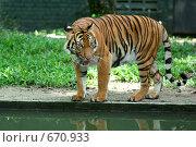 Купить «Тигр у водоема (Panthera tigris)», фото № 670933, снято 23 марта 2008 г. (c) Татьяна Белова / Фотобанк Лори