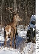 Купить «Олень  в лесу», фото № 678393, снято 9 января 2009 г. (c) Gagara / Фотобанк Лори