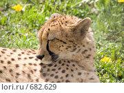 Купить «Гепард», фото № 682629, снято 17 мая 2008 г. (c) Eduard Panov / Фотобанк Лори