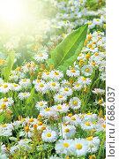 Купить «Поле маргариток под солнечными лучами», фото № 686037, снято 31 мая 2008 г. (c) Ольга Красавина / Фотобанк Лори