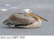 Пеликан. Стоковое фото, фотограф Levin Alexandr / Фотобанк Лори