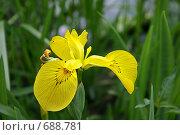Купить «Желтый цветок ириса», фото № 688781, снято 12 июня 2006 г. (c) Елена Ликина / Фотобанк Лори