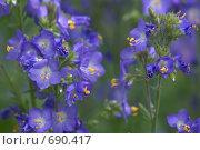 Купить «Синюха голубая (Polemonium caeruleum)», фото № 690417, снято 15 июня 2008 г. (c) Артём Сапегин / Фотобанк Лори