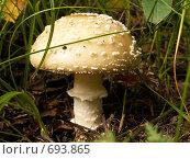 Ядовитый гриб Amanita pantherina. Стоковое фото, фотограф Василий Вишневский / Фотобанк Лори