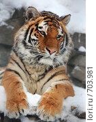 Купить «Портрет тигра», фото № 703981, снято 8 января 2009 г. (c) Игорь Жоров / Фотобанк Лори