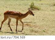 Купить «Импала — африканская антилопа средней величины в национальном парке. Африка.», фото № 704169, снято 3 января 2009 г. (c) Алексей Зарубин / Фотобанк Лори
