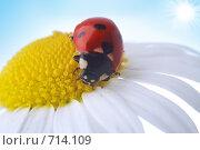 Купить «Божья коровка на цветке ромашки», фото № 714109, снято 9 июля 2007 г. (c) Анатолий Типляшин / Фотобанк Лори