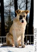 Купить «Бездомный щенок светлого окраса», фото № 714925, снято 18 февраля 2009 г. (c) Возмилова Светлана / Фотобанк Лори