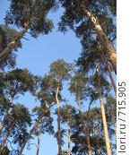 Купить «Сосны на фоне голубого неба», фото № 715905, снято 22 февраля 2009 г. (c) Яременко Екатерина / Фотобанк Лори