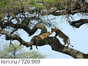 Купить «Две львицы на ветвях акации», фото № 720909, снято 23 января 2008 г. (c) Знаменский Олег / Фотобанк Лори