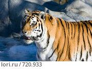 Купить «Амурский тигр», фото № 720933, снято 15 февраля 2009 г. (c) Игорь Киселёв / Фотобанк Лори
