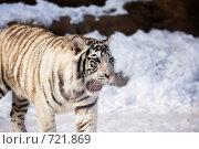 Купить «Белый тигр», фото № 721869, снято 22 февраля 2009 г. (c) Тимофей Косачев / Фотобанк Лори