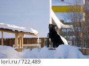 Купить «Лающая собака на снежном сугробе», фото № 722489, снято 22 февраля 2009 г. (c) Шахов Андрей / Фотобанк Лори