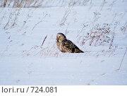 Купить «Сова(Owl)», фото № 724081, снято 23 февраля 2009 г. (c) Виктор Ковалев / Фотобанк Лори
