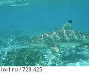 Купить «Подводный мир, Мальдивы. Рифовая акула», фото № 728425, снято 7 сентября 2008 г. (c) Сергей Учаев / Фотобанк Лори
