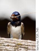 Купить «Ласточка деревенская, Касатка, Hirundo rustica, Swallow», фото № 731741, снято 18 июля 2006 г. (c) Василий Вишневский / Фотобанк Лори