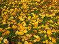 Жёлтые опавшие листья на зелёной траве, фото № 732545, снято 2 октября 2006 г. (c) ИВА Афонская / Фотобанк Лори