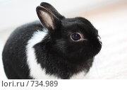 Купить «Карликовый кролик», фото № 734989, снято 5 марта 2009 г. (c) Елена Мумрина / Фотобанк Лори