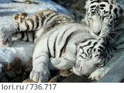 Купить «Тигры и любовь», фото № 736717, снято 6 марта 2009 г. (c) Серёга / Фотобанк Лори