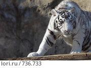 Купить «Тигр», фото № 736733, снято 6 марта 2009 г. (c) Серёга / Фотобанк Лори