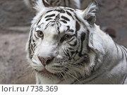Купить «Белый тигр», фото № 738369, снято 22 февраля 2009 г. (c) Тимофей Косачев / Фотобанк Лори