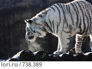 Купить «Белый тигр (panthera tigris altaica)», фото № 738389, снято 22 февраля 2009 г. (c) Тимофей Косачев / Фотобанк Лори