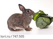 Купить «Кролик с капустой», фото № 747505, снято 7 февраля 2009 г. (c) Ирина Кожемякина / Фотобанк Лори