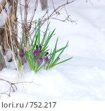 Купить «Замерзшие крокусы», фото № 752217, снято 15 марта 2009 г. (c) Ирина Солошенко / Фотобанк Лори