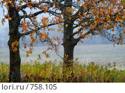 Купить «Золотые дубы на краю поле. Дождь, ветер.», фото № 758105, снято 15 октября 2007 г. (c) Aleksander Kaasik / Фотобанк Лори