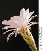 Купить «Цветок кактуса на черном фоне», фото № 769753, снято 6 июня 2006 г. (c) Дмитрий Натарин / Фотобанк Лори