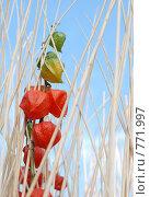 Оранжевый физалис. Стоковое фото, фотограф Ольга Харламова / Фотобанк Лори
