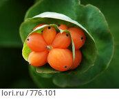 Купить «Плоды каприфоли (садовой жимолости)», фото № 776101, снято 20 июля 2008 г. (c) Павел Преснов / Фотобанк Лори