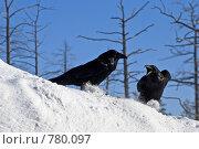 Ворон. Стоковое фото, фотограф Жданович Юрий / Фотобанк Лори