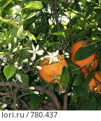 Купить «Цветы и плоды апельсина на одном дереве», фото № 780437, снято 2 мая 2008 г. (c) Demyanyuk Kateryna / Фотобанк Лори