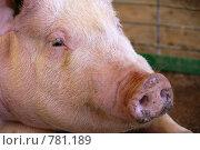 Купить «Розовая свинья, крупный план», фото № 781189, снято 14 марта 2009 г. (c) Shawn A. Nelson / Фотобанк Лори