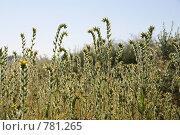 Купить «Огуречник аптечный», фото № 781265, снято 17 марта 2009 г. (c) Julia Nelson / Фотобанк Лори