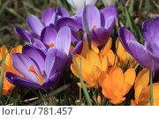 Купить «Крокусы», фото № 781457, снято 28 марта 2009 г. (c) Dmitriy Andrushchenko / Фотобанк Лори